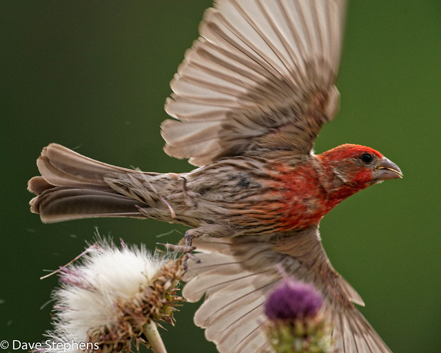 House Finch Changes Thistle Pod