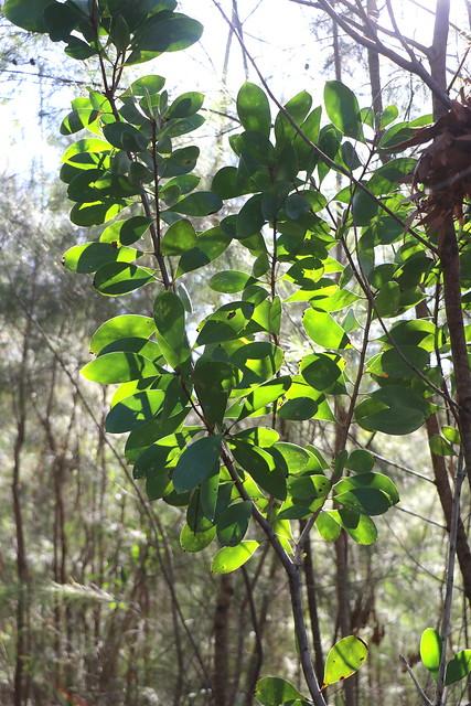 Broad-leaved Geebung (Persoonia levis)