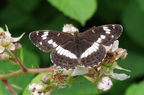 cambridgeshire limenitiscamilla monkswood butterfly nature whiteadmiral wild wildlife