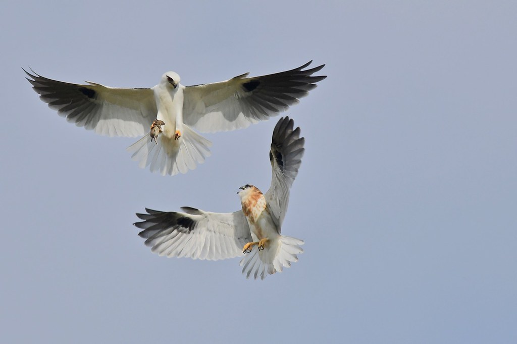 Black-shouldered Kites ( ( Dads back with another mouse )