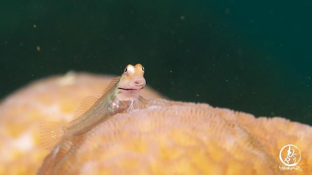 この表情がたまらんね♪ イシガキカエルウオ幼魚ちゃん♪