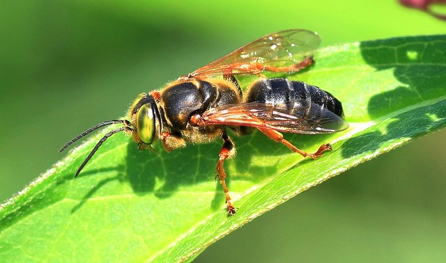 sand-loving wasp (Tachytes crassus) at Pool Slough IA 653A1373