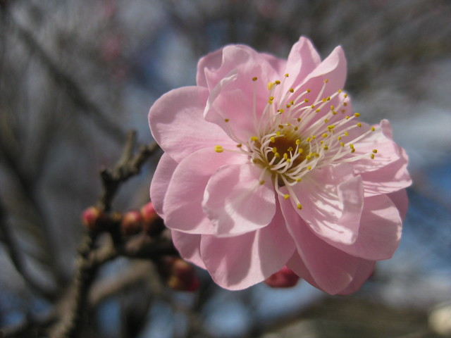 Ornamental Cherry Blossoms in Winter