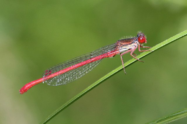 Small Red Damselfly ♂ Ceriagrion tenellum