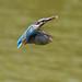 Kingfisher -202007022243.jpg