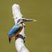 Kingfisher -202007022247.jpg