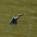 Kingfisher -202007022259.jpg