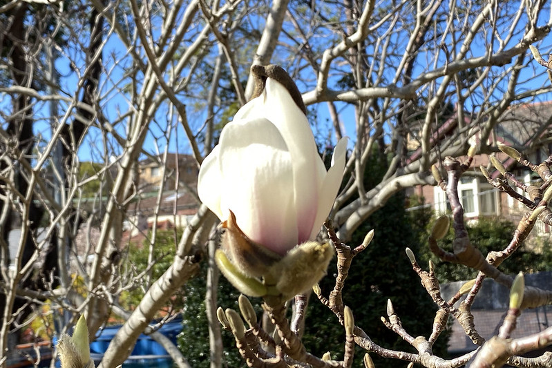 Winter magnolia