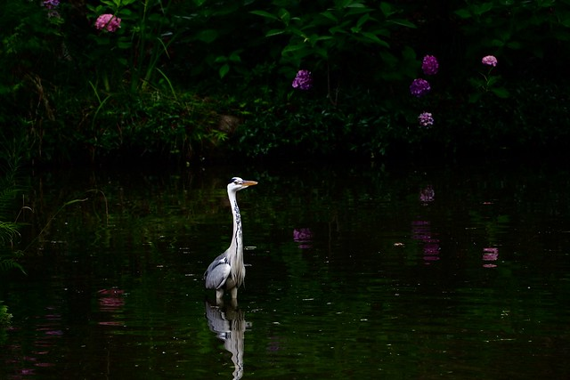heron and hydrangea