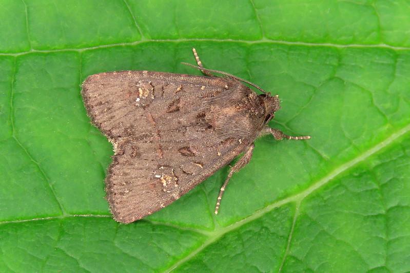 73.169x Common Rustic agg. - Mesapamea secalis agg.