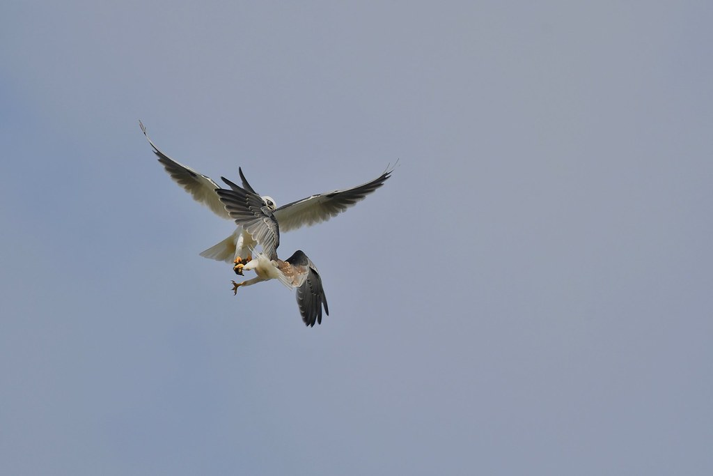 Black-shouldered Kites ( And thats another mouse gone )