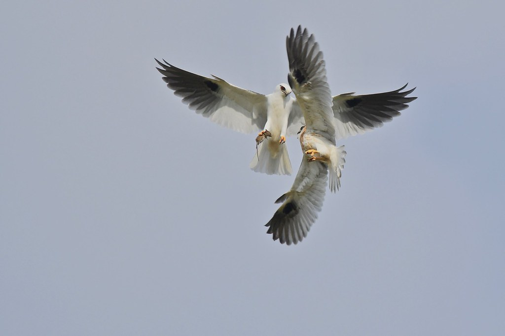 Black-shouldered Kites ( Dad is still moving up high )