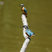 Kingfisher -202007021836.jpg