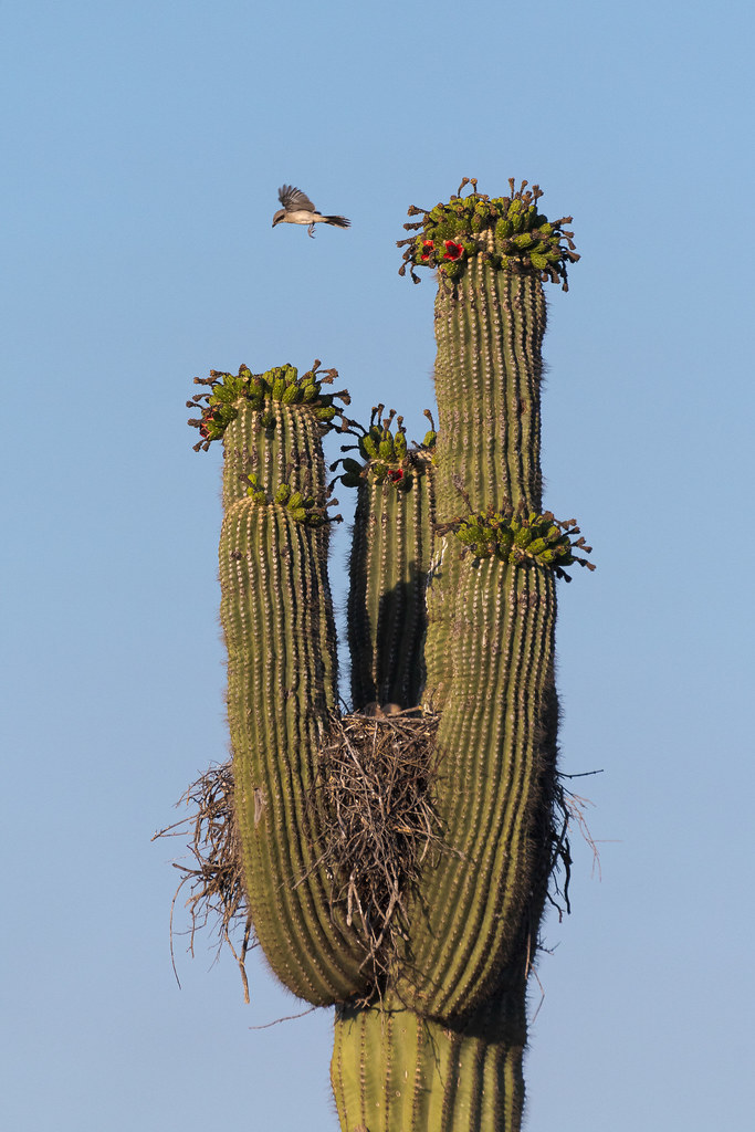 A loggerhead shrike jumps from the top arm of a saguaro to try to catch some small prey moving about in the desert below, as two fuzzy Harris's hawk chicks sit oblivious in the nest, on the Chuckwagon Trail in McDowell Sonoran Preserve in Scottsdale, Arizona in June 2020