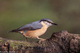 Nuthatch | by Linda Martin Photography