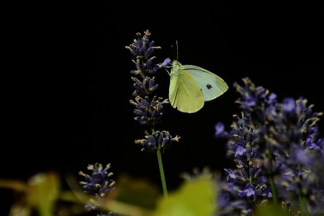 DSC_1350 am Lavendel