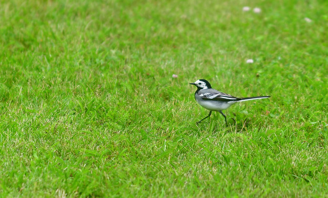 March of the Wagtail
