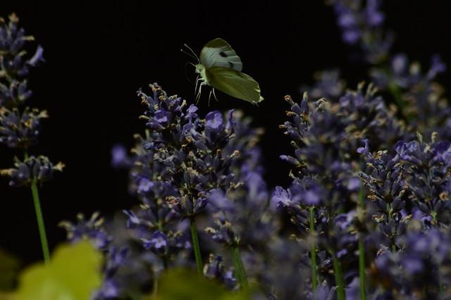 DSC_1349 Anflug auf Lavendel
