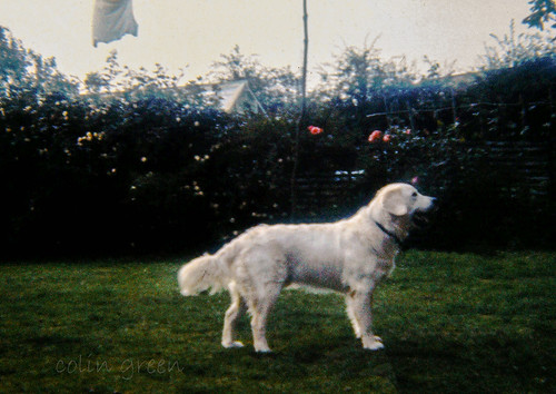 Sussex Farm Dog 1977