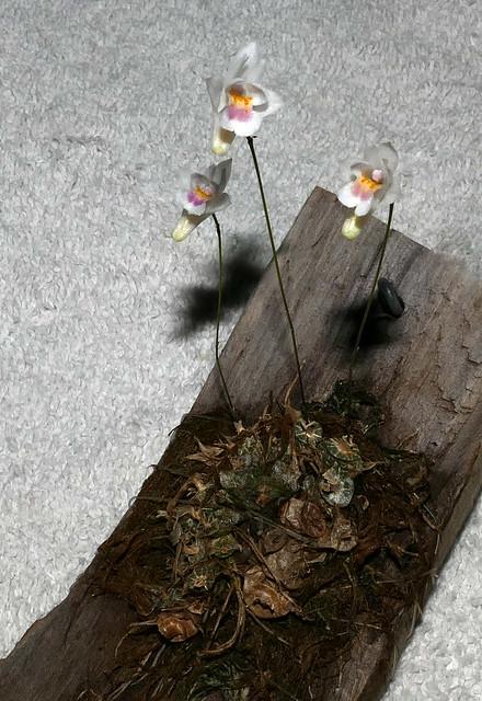 Conchidium (Eria) extinctorium species orchid 5-20