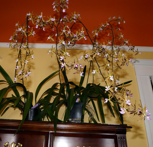 Encyclia Newberry Dark Stars hybrid orchid 5-20