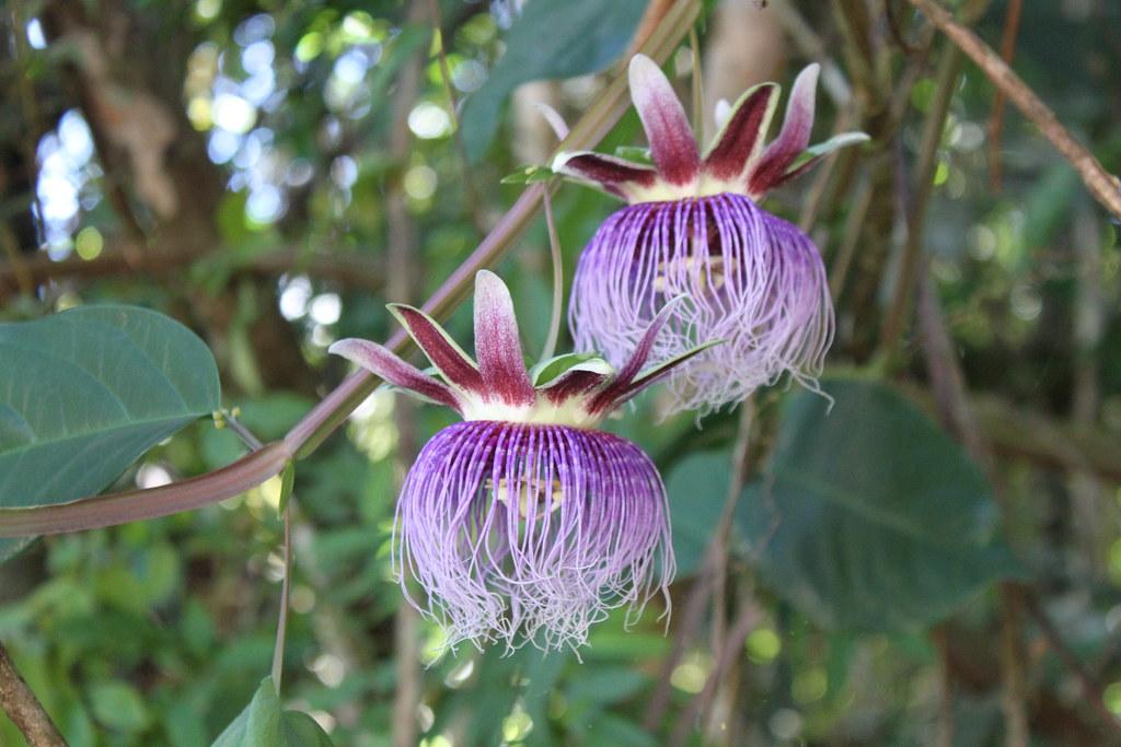 Passiflora series Quadrangulares