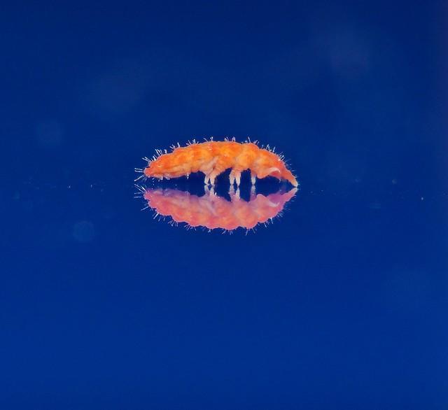 Tangerine colour Collembola Hemilobella matildae sp. nov Lobellini Neanurinae Poduromorpha Mandalay rainforest Airlie Beach P1157312