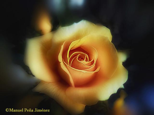 Una amarilla y simbólica rosa. A symbolic yellow rose