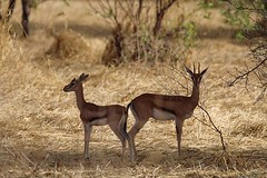 Red-fronted gazelles, Zakouma National Park, Chad