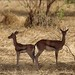 Red-fronted gazelles, Zakouma National Park, Chad