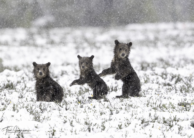 Three little Bears - 399 cubs looking back at fourth cub