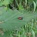 """<p><a href=""""https://www.flickr.com/people/dunnock_d/"""">Dunnock_D</a> posted a photo:</p>  <p><a href=""""https://www.flickr.com/photos/dunnock_d/50075756676/"""" title=""""Unidentified minibeast, 2020 Jun 22""""><img src=""""https://live.staticflickr.com/65535/50075756676_ee38d8c248_m.jpg"""" width=""""240"""" height=""""180"""" alt=""""Unidentified minibeast, 2020 Jun 22"""" /></a></p>  <p>Chester, England<br /> <br /> Filename: DSC08789a</p>"""