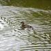 "<p><a href=""https://www.flickr.com/people/dunnock_d/"">Dunnock_D</a> posted a photo:</p>  <p><a href=""https://www.flickr.com/photos/dunnock_d/50075763866/"" title=""Female mandarin swimming, 2020 Jun 20""><img src=""https://live.staticflickr.com/65535/50075763866_b2b4c5f947_m.jpg"" width=""240"" height=""180"" alt=""Female mandarin swimming, 2020 Jun 20"" /></a></p>  <p>&quot;Aix galericulata&quot; near Eccleston, England<br /> <br /> Filename: DSC08752a</p>"