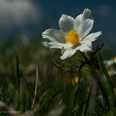 Anémone des Alpes ou Pulsatille des Alpes (Switzerland)