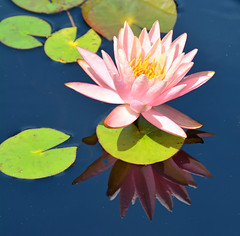 GFS Water Lilly