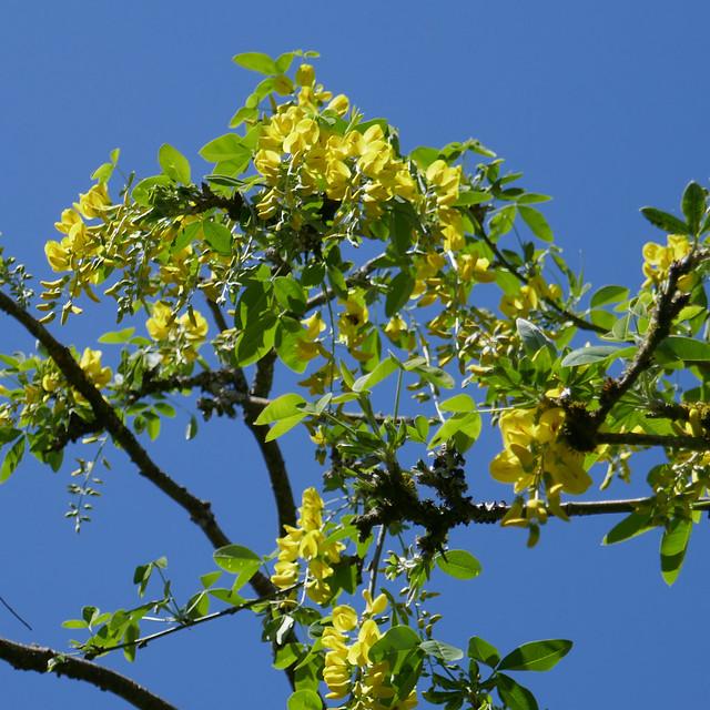 tresi aur | laburnum blue sky