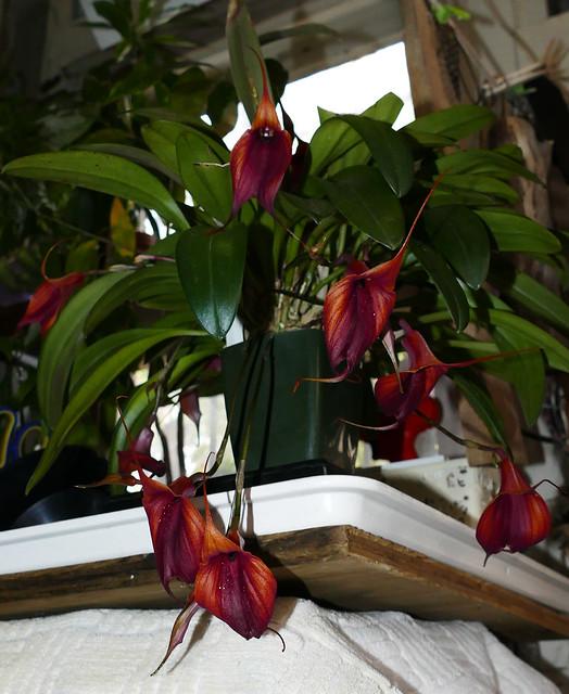 Masdevallia Prince Charming 'Highland' am-aos primary hybrid orchid 5-20