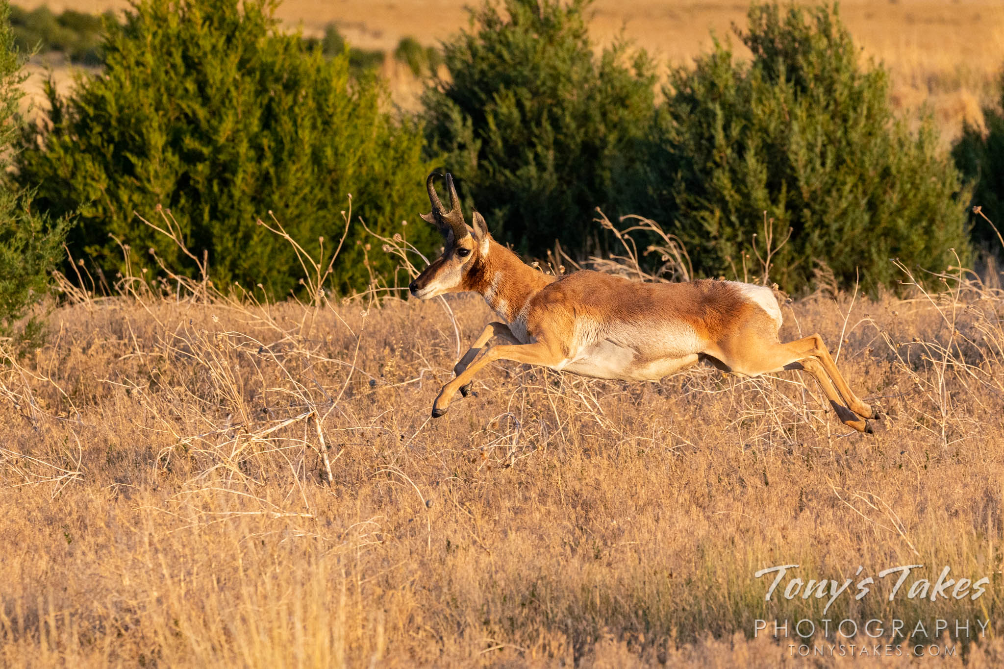 Pronghorn buck catches some air