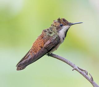Juvenile Ruby Topaz Hummingbird, Tobago.