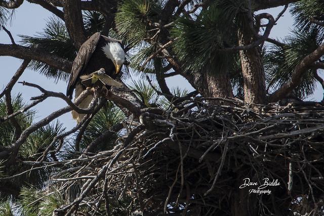 Female Eastern Kingbird attacking a Bald Eagle!
