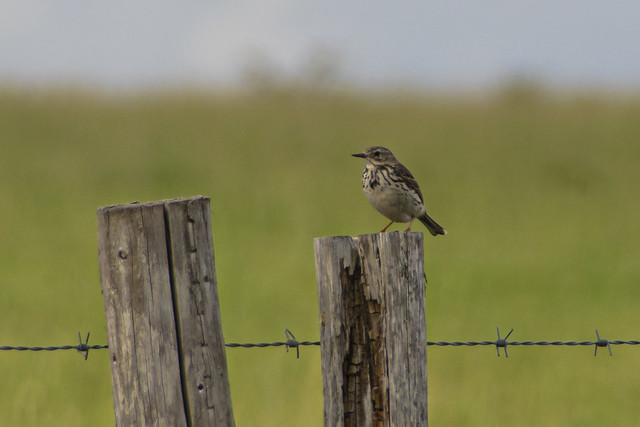 Meadow Pipit on a post
