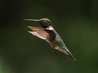 Mr Rubythroated hummingbird