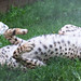 """<p><a href=""""https://www.flickr.com/people/blacktigersdream/"""">Cloudtail the Snow Leopard</a> posted a photo:</p>  <p><a href=""""https://www.flickr.com/photos/blacktigersdream/50076255812/"""" title=""""Cheetah rolling on the ground""""><img src=""""https://live.staticflickr.com/65535/50076255812_85439195a6_m.jpg"""" width=""""240"""" height=""""80"""" alt=""""Cheetah rolling on the ground"""" /></a></p>  <p>A picture of a cheetah</p>"""