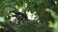Sparrowhawk-female with Juvenile's on nest, 04072020, 05 f