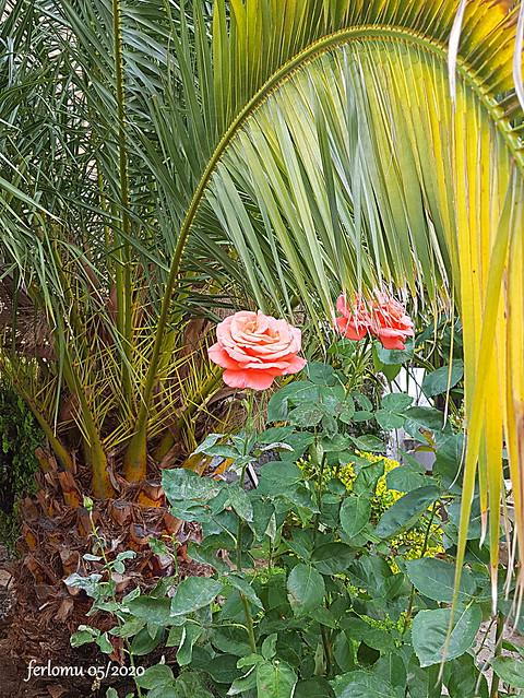 Rosas de Algete 20200526_113751