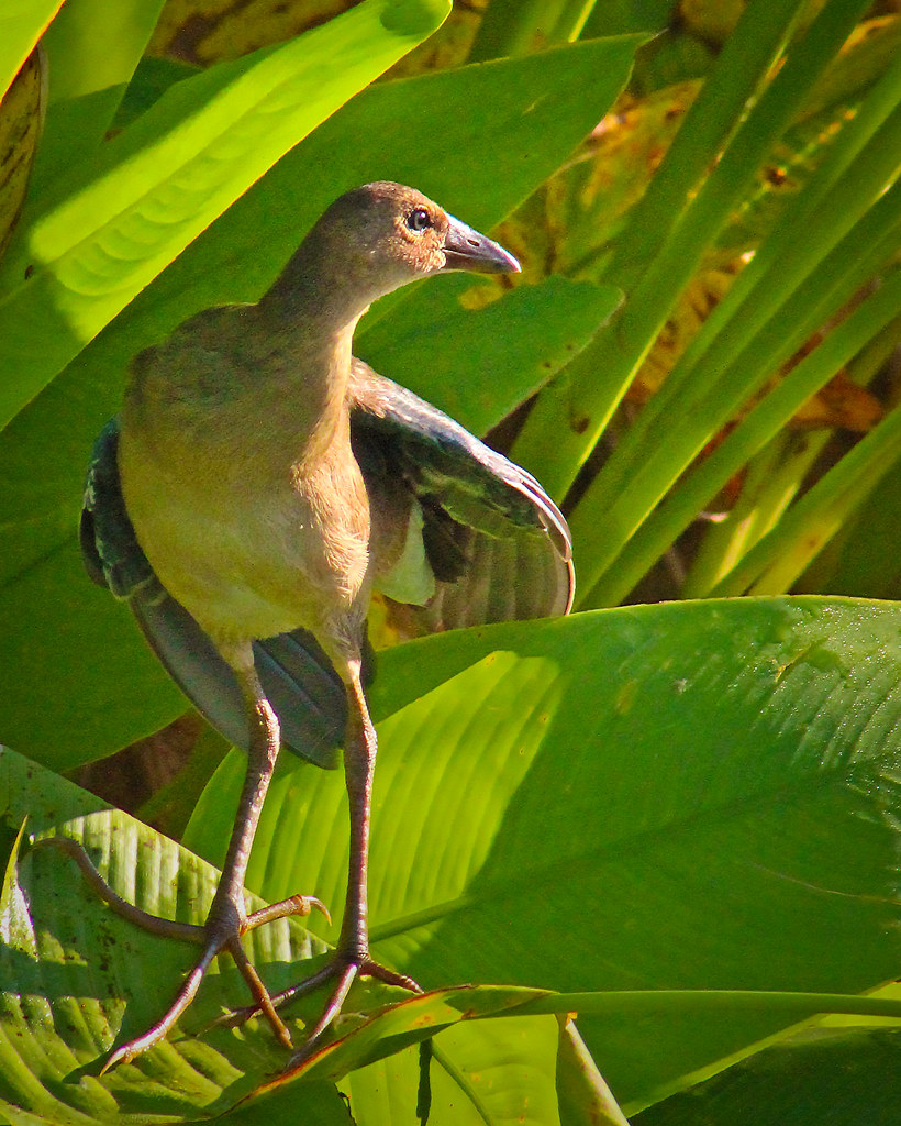 2020.06.18 Sweetwater Wetlands Purple Gallinule (juvenile) 3
