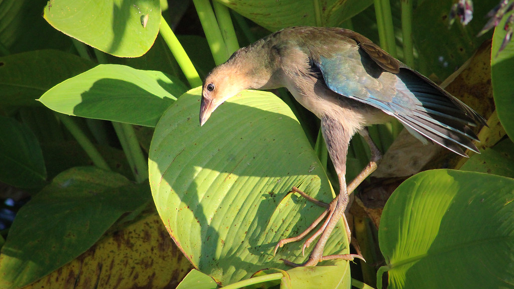2020.06.18 Sweetwater Wetlands Purple Gallinule (juvenile) 2