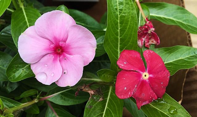 Impatiens Blossoms
