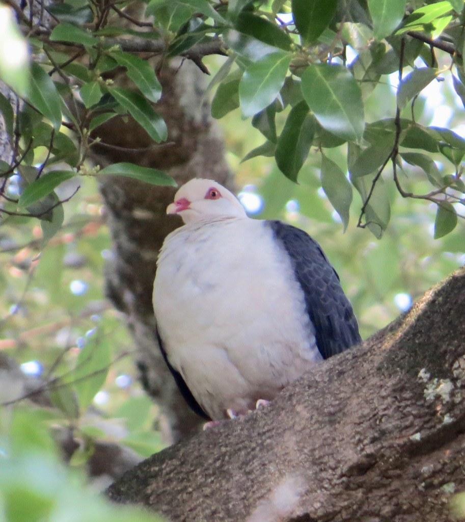Columba leucomela - White- headed Pigeon