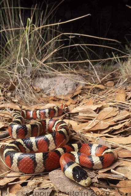Lampropeltis knoblochi - Santa Cruz County, AZ